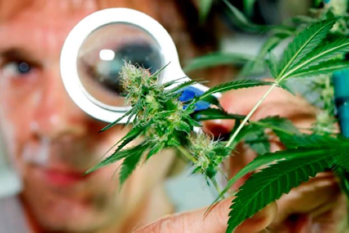 Investigacion Marihuana 1
