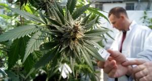 Investigacion Marihuana 2